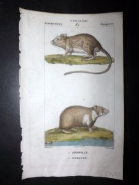 Turpin C1820 Antique Hand Col Print. Gerbil, Hamster 59